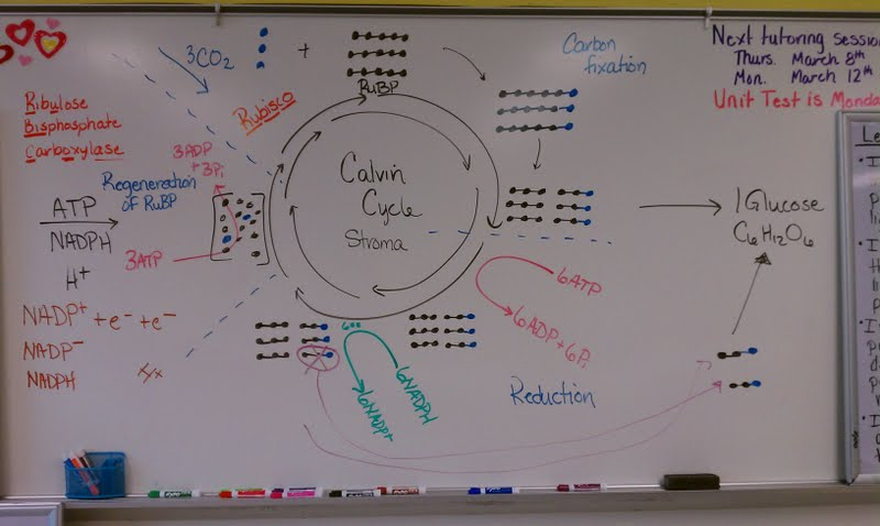 Mrs Averetts Classroom Introduction to Biochem – Calvin Cycle Worksheet